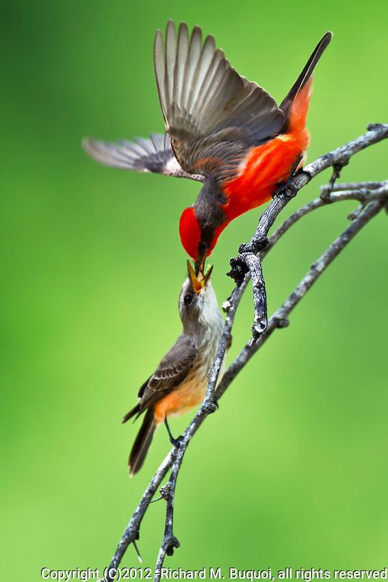 Vermilion Flycatcher feeding mate