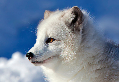 A head shot of beautiful white arctic fox standing in the snow facing the sun.