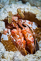 spearing mantis shrimp, lysiosquilla sp. 2