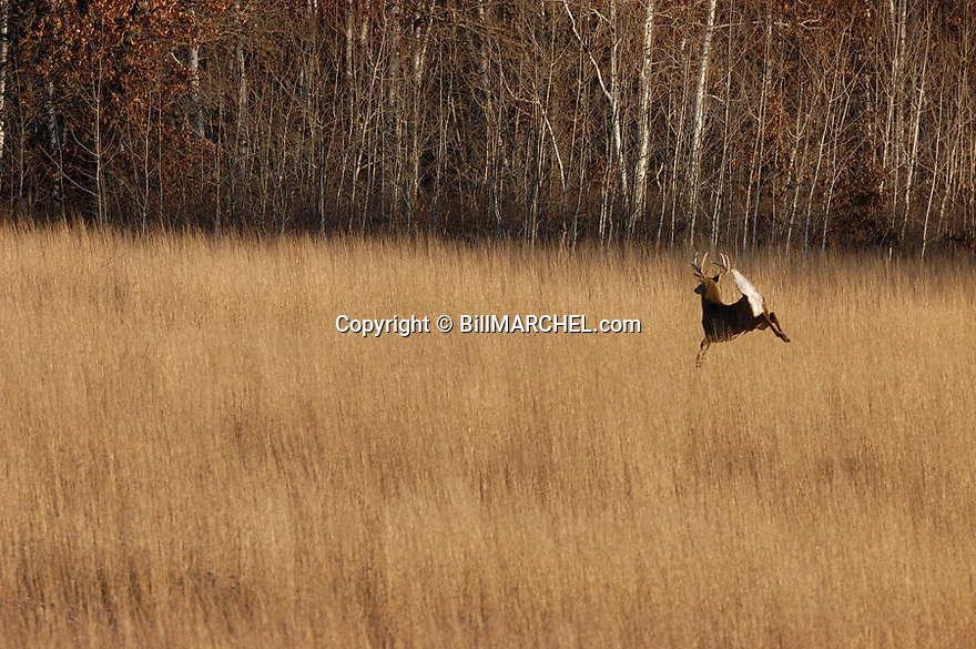 00274-318.06 White-tailed Deer Buck (DIGITAL) with large 8 pt. antlers is bounding with tail raised in bluestem prairie during fall.  Hunt, CRP. H1L1