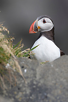 Papageitaucher, Papageientaucher, Papagei-Taucher, Fratercula arctica, Atlantic puffin, puffin, common puffin, Le Macareux moine, Vogelfels, Vogelfelsen