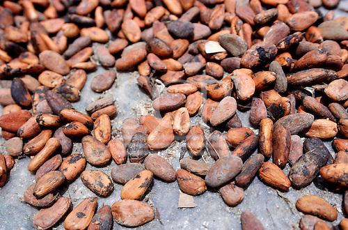 Bahia, Brazil. Cacau (Theobroma cacao) beans drying in the sun; CEPLAC cacau research station.