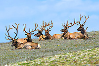 "While well known for their ""bugling"" during the fall rut as they try to woo females away from one another, the rest of the year bull elk are quite sociable, often living in ""bachelor herds."" Here, seven bull elk hang together in a high alpine meadow in Rocky Mountain National Park, Colorado."