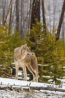 Young wolf at the edge of forest Yellowstone