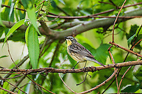 Rare Kirtland's Warbler female (Setophaga kirtlandii ). Spring migration. Lake Erie, Ottawa National Wildlife Refuge, Ohio. ENDANGERED SPECIES.