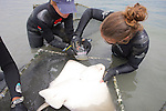 Katie & Melissa Removing Parasites From Bat Ray