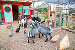 Naomi's Organic Farm Supply is a family-owned shop with a wide range of organic products including: soil amendments and fertilizer, seeds, straw, hay, compost, potting soils, livestock feeds, salts, supplements, chicken supplies, pet foods, hand tools & lots of books.  Here co-owners Neil and Nomi Montacre feeds the goats, chickens and ducks greens from one of their demonstration gardens.