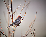 House Finch. Image taken with a Nikon D5 camera and 600 mm f/4 VR lens (ISO 1400, 600 mm, f/4, 1/1250 sec).