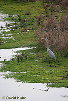 0111-0917  Great Blue Heron, Ardea herodias © David Kuhn/Dwight Kuhn Photography