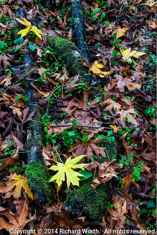 Yellow and red/brown leaves mixed with green moss on gray branches decorate a path in a regional park in the Oakland Hills, California.