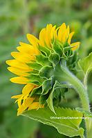 63801-11304 Sunflower in field Jasper Co.  IL