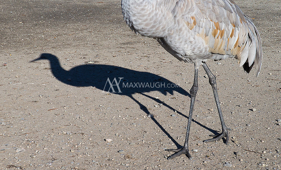 The long shadow of a Sandhill crane is cast on a sunny winter day.