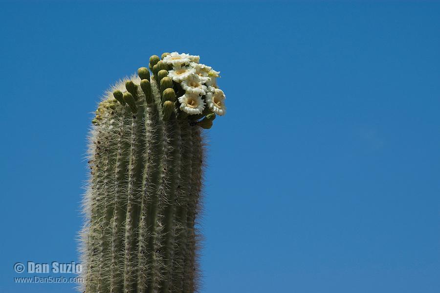 Blooming saguaro cactus, Carnegiea gigantea, Organ Pipe Cactus National Monument, Arizona.