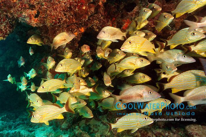 school of bluestriped grunts, Haemulon .sciurus, and white grunt, Haemulon plumieri.Looe Key, Florida Keys National .Marine Sanctuary, Florida (Atlantic).