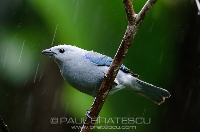 The Blue-grey Tanager (Thraupis episcopus) is a medium-sized South American songbird of the Tanager family, Thraupidae. Searching for food in the rain.