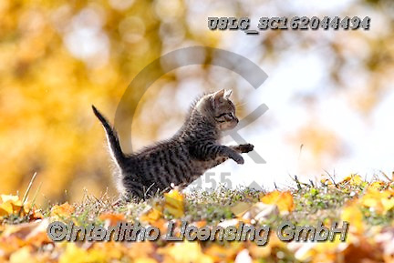 REALISTIC ANIMALS, REALISTISCHE TIERE, ANIMALES REALISTICOS, cats, paintings+++++,USLGSC162044494,#A#, EVERYDAY ,photos,fotos,pounce,cat,cats,kitten,kittens,Seth
