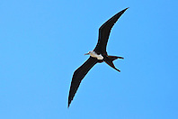 great frigatebird, Fregata minor, young female in flight, Kona Coast, Big Island, Hawaii, USA