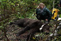 Photographer Melissa Farlow with a tranquilized brown bear on a research trip with Fish and Game while on assignment with National Geographic.