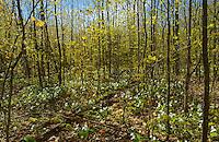 Great white trilliums (Trillium grandiflorum) in hardwood  forest<br /> Six Mile Lake Provincial Park<br /> Ontario<br /> Canada