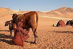 Himba woman milking a cow, traditionally a woman's task in Himba society. Himba women cover their bodies with a traditional mixture of ochre and butter fat giving their skin and hair a reddish coloration. Himba are nomadic herders of goats and cattle, living in the dry desert regions of northwestern Namibia and southern Angola. [NO MODEL RELEASE]