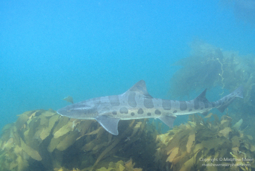 Leopard Shark (Triakis semifasciata), San Clemente Island, Channel Islands, California, U.S.A., Eastern Pacific Ocean, found from Oregon to Mazatlan, Mexico and Gulf of Mexico, bird cage dive site , Copyright © Matthew Meier, matthewmeierphoto.com All Rights Reserved