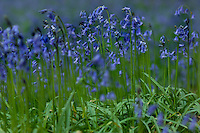 Detail of the Common Bluebell with its lavender-blue flowers