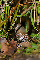 Hermit Thrush (Catharus guttatus).  Pacific Northwest.