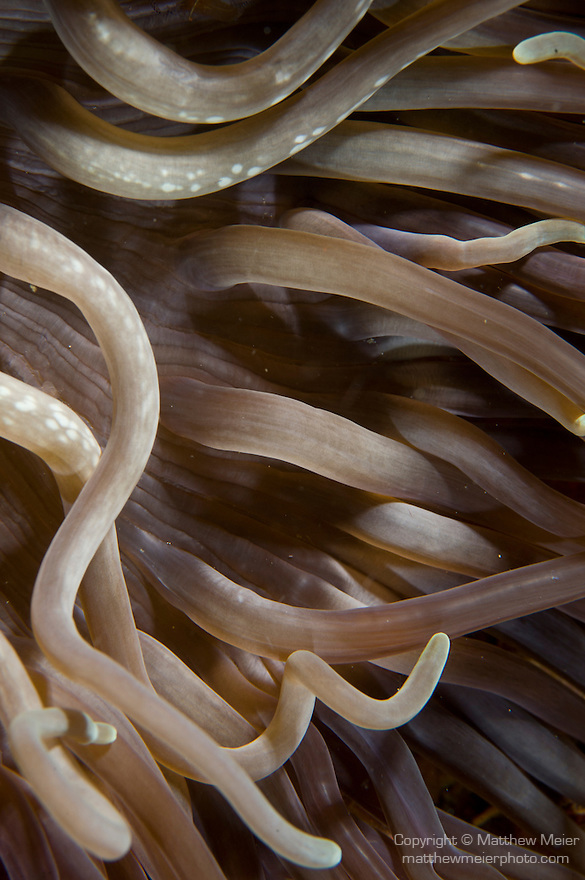 Anilao, Philippines; the tentacles of a purple, yellow and green Leathery Sea Anemone (Heteractis crispa) form patterns and textures in the water current
