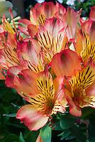 Alstroemeria 'Intichantha Bryce' orange flowers