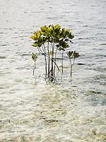 Mangrove at the beach of Arborek, Raja Ampat, West Papua, Indonesia