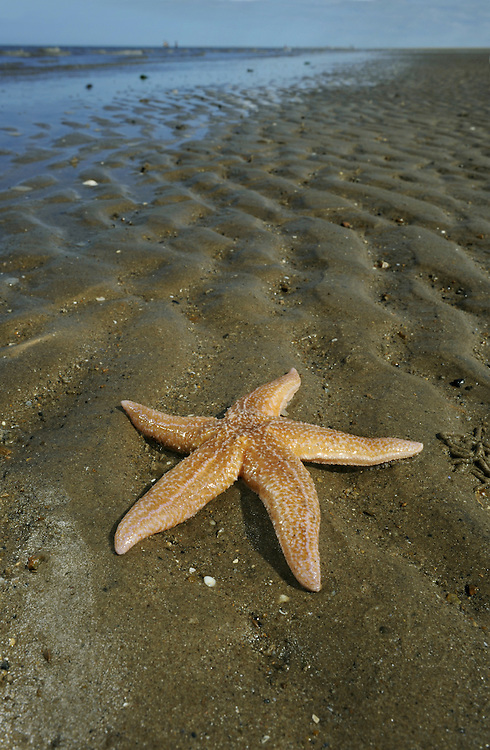 Common Starfish - Asterias rubens