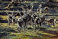 Caribou bulls cross a ridge during the migration across North Yukon