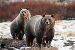 Grizzly bear sow and cub in late autumn. Bridger-Teton National Forest, Wyoming.