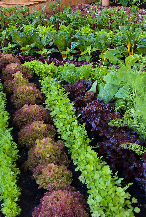 Small Vegetable Garden In Pretty Rows: Red Lettuce, Fennel, Chard, Carrots,
