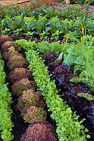 Small Vegetable Garden in pretty rows: red lettuce, fennel, chard, carrots, parsley, salad greens, herbs.