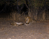 African Lion pair at night, South Luangwa Park, Zambia