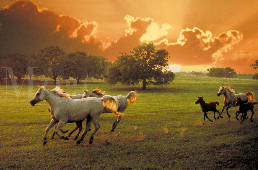 Arabian mares and foals running across open paddock with large oaks and dramatic sunrise clouds. horse, horses, animals, special effects, photo montage.