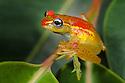 Rainforest Tree Frog (Boophis rappoides). Rainforest understorey, Mantadia National Park, Madagascar.