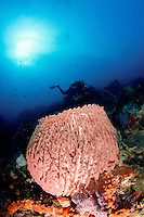 Giant barrel sponge Xestospongia muta and diver in Komodo National Park. Ther are as well lots of sea cucumbers on the barrel sponge, looking like white worms.