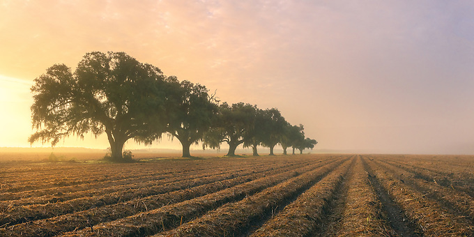 A row of oak trees near old plantation homes along the Mississippi River, Louisiana.