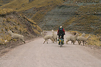 Don Thomas splits splits the uprights (of Llamas) along the highest continuous section of road in the world, 100 miles at over 13,000 feet - Peruvian Andes - South America