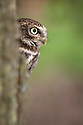 Little owl {Athene noctua} looking out from perch on tree trunk, captive, England