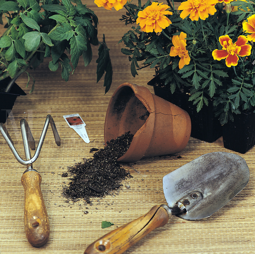 Gardening still life of hand tools and a cracked clay pot with marigold and tomato plants.