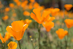 Painted Cave, Santa Barbara, California; orange California poppies in afternoon sunlight