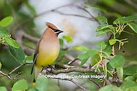 01415-03405 Cedar Waxwing (Bombycilla cedrorum) in Serviceberry (Amelanchier canadensis) bush, Marion Co. IL
