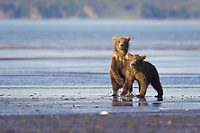 Corona and BooBoo are on guard after the traumatic attack just minutes earlier. Kodiak grizzly bear (Ursus arctos middendorffi), Hallo Bay