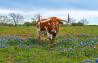 A Longhorns Close Up in Wildflowers - This longhorn seem to be coming by to check us out or maybe he just wanted his close up in these wonderful texas wildflowers.This steer maybe wanted his five minutes of fame and luckly for us he was in the wildflowers. This field had bluebonnets and indian paintbrush so it gave a little contrast in this field in the Texas Hill country outside of Johnson City. Its always a win win when you can get texas wildflowers and a longhorn to pose for you.  It didn't take long before he move on to greener pasture or rather on the other side of the field away from us.