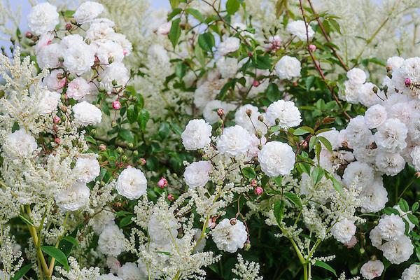 Persicaria polymorpha and Rosa 'Garland'