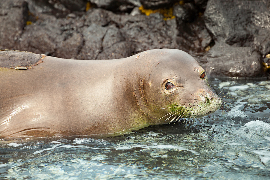 This Hawaiian monk seal, Monachus schauinslandi, (endemic and endangered) was photographed off the Kona Coast of the Big Island, Hawaii. The patch on it's back is where a transmitter was glued to track it's movements. This will disappear after the seal molts.