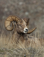 A trophy bighorn ram allows a closeup portrait as it rests on a Montana mountain slope.